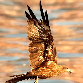 Kite in the air with a catch by Francois Wolfaardt - Animals Birds ( fly, kite, catch, raptor, prey )