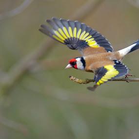 Steglits by Michael Pelz - Animals Birds