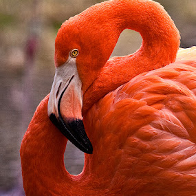 Flamingo 5168 by D. Jan Anderson - Animals Birds