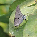 Sky-blue Hairstreak