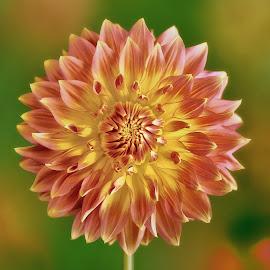 Dahlia #10 by Jim Downey - Flowers Single Flower ( orange, red, green, dahlia, yellow )