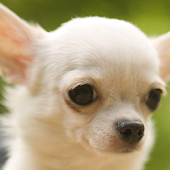chihuahua backgrounds APK for iPhone