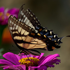 Summer Butterfly 1 by Larry Bidwell - Animals Insects & Spiders