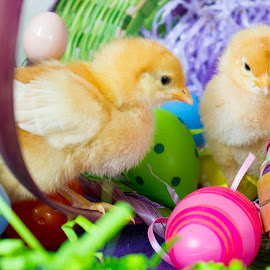 by Brandi Nichols - Public Holidays Easter ( bird, farm, easter, poultry, chickens, birds, chicks,  )