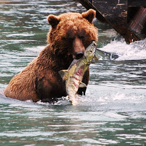 bearsalmon.jpg