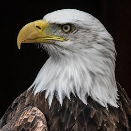 Bald eagle by Garry Chisholm - Animals Birds ( bird, garry chisholm, nature.wildlife, eagle, prey, raptor, bald )