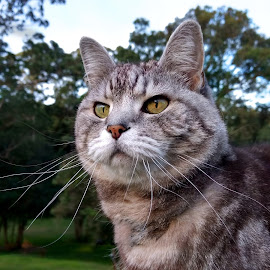 by Cheryl Hesketh - Animals - Cats Portraits ( cat, fierce, tabby, portrait, cat and trees,  )