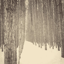Between the lines in b & w by Patti Pappas - Landscapes Forests ( pines, michigan, winter, snow, trees )