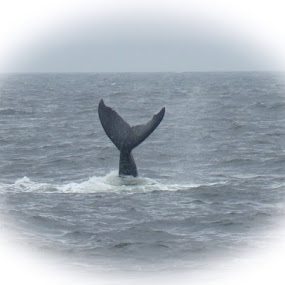 Whale Tail by Andrea Clayton - Novices Only Wildlife