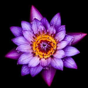 prasanna_lotus.jpg