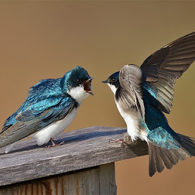 by Herb Houghton - Animals Birds ( tree swallows, nest box, fantastic wildlife, swallow )