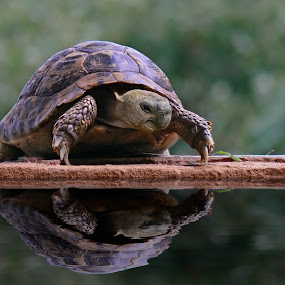 Greek Turtle by Reinhard Latzke - Animals Reptiles ( greek turtle )