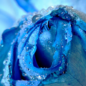 Dew by Anika McFarland - Nature Up Close Other Natural Objects ( rose, blue, dew, nature up close, blue rose, close up,  )
