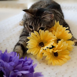 Hunting Daisies by Joanne Hughes-Brown - Animals - Cats Playing ( playing, cat, pet, hunting, flower, portrait )