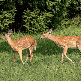 Fawn by Debbie Quick - Digital Art Animals ( deer, debbie quick, animal photography, nature, animal, fawn, debs creative images, wild, new york, hudson valley, poughkeepsie, wildlife )