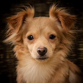 Malibu by Myra Brizendine Wilson - Animals - Dogs Portraits ( canine, pet, malibu, gcspca, dog )