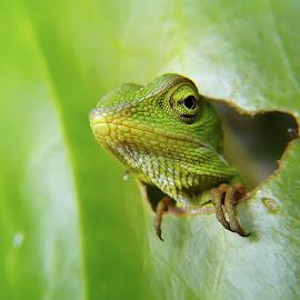 hey you by Hendrata Yoga Surya - Instagram & Mobile Android ( green crested lizard, londok, liza d, lizards, bunglon surai )