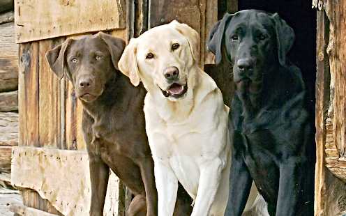 Labradors Community - screenshot