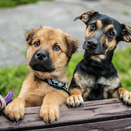 Friends forever by Lukas Kastovsky - Animals - Dogs Puppies ( friends, dogs, 35mm, d3100, puppy, nikon, dog )