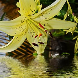 yellow lily by LADOCKi Elvira - Digital Art Things ( flowers )