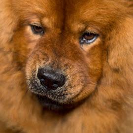 My Lion dog by Ines Raycheva - Animals - Dogs Portraits ( lion, muzzle, chow chow, dog muzzle, dog portait, dog, cute dog, chow chow dog )