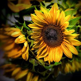 Sunflowers by Zdenka Rosecka - Nature Up Close Flowers - 2011-2013 ( flower, bouquet,  )