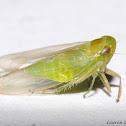 Tiny Leafhopper