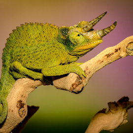 Green at the Gills by Myra Brizendine Wilson - Animals Reptiles ( jackson's chameleon, reptile, chameleon, animal,  )