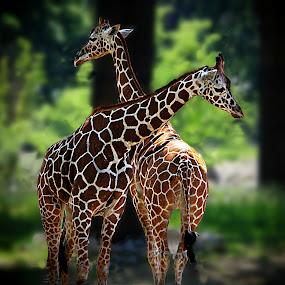 by Karen McKenzie McAdoo - Animals Other Mammals