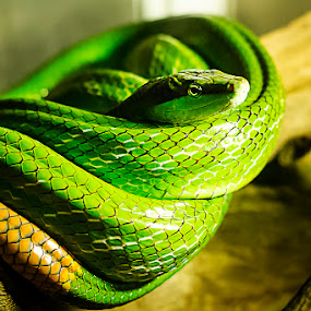 Death in Green by Fotugraphar Quazi - Animals Reptiles ( snake, green, reptile, animal )