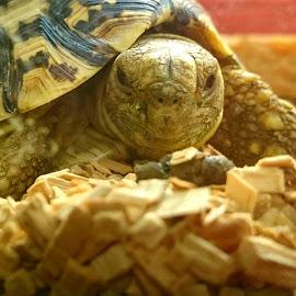 Tortoise Stare by Jo-Ann Tan - Animals Reptiles