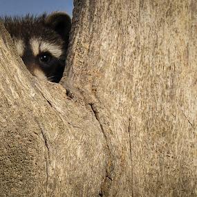 Peak Ah Boo by Dan Kinghorn - Animals Other ( cute animals, southeast idaho, raccoon )