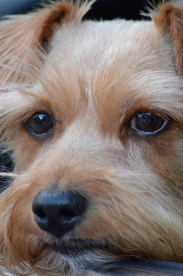 Annie Sue 2 by Rhonda Kay - Animals - Dogs Portraits