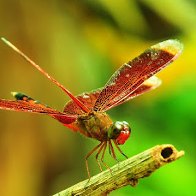 Dragonfly by Syarief Wiranegara - Animals Insects & Spiders