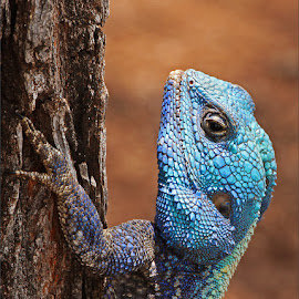 Blue headed agama by Johann Harmse - Animals Reptiles ( repitle, nature, blue headed agama, agama, portrait )
