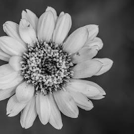 B&W Flower by Eleanor Hattingh - Black & White Flowers & Plants ( wild, nature, black and white, beauty, flower )