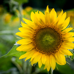 Sunny Fields by Brian Young - Nature Up Close Gardens & Produce ( sunflower, flower )
