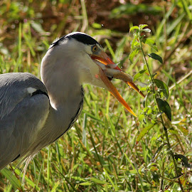 Grey Heron with catch of the day. by Judy Patching - Novices Only Wildlife ( water, bird, nature, eating, wildlife )