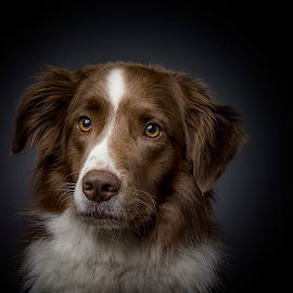 border at my studio by 'Monique Smit - Animals - Dogs Portraits ( breed, border, animal )