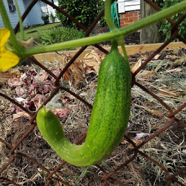 Hanging nicely on vine by Terry Linton - Food & Drink Fruits & Vegetables