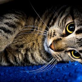 A cat  by Roman Kolodziej - Animals - Cats Portraits ( cat, colurs, fun )