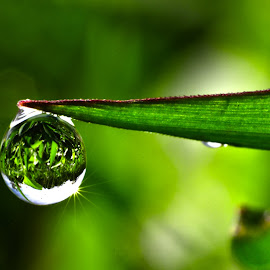 Clear Dew by Muhamad Lazim - Nature Up Close Natural Waterdrops ( water, macro, nature, grass, dew )