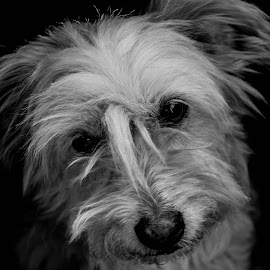 My Trip Hazard by Kristin Adams - Animals - Dogs Portraits ( terrier, sassy, photography, new mexico, love, companion, paw, best, fur, puppy, carlsbad, baby, dog, friend )