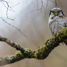 Hawk owl by Kjetil Salomonsen - Animals Birds