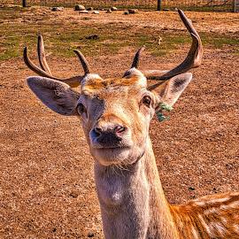 HDR Buck by Pat Lasley - Animals Other Mammals ( mammals, african, buck, wildlife, deer, animal )