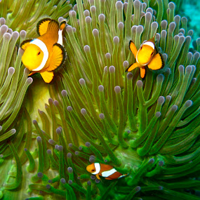 clown by Mishesh Ramesh - Animals Fish ( orange, clown, fish, under, sea )