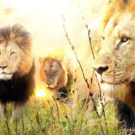 The Pride by Bjørn Borge-Lunde - Digital Art Animals ( predator, animals, wilderness, big cats, nature, sunset, wildlife, lions, africa )