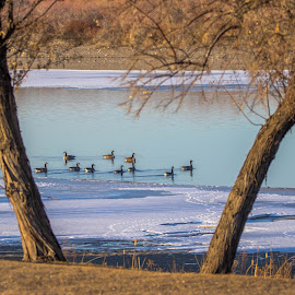 Tranquil Morning by Chad Roberts - Nature Up Close Water ( water, winter, ice, snow, geese, morning, river )