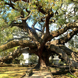 Treaty Oak by Kim Jones - City,  Street & Park  City Parks ( old, park, tree, florida, oak )