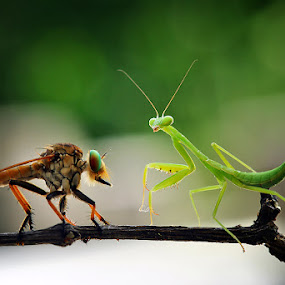 two predator by Nordin Seruyan - Animals Insects & Spiders